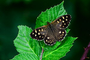 Speckled wood butterfly (Pararge aegeria) resting, Dorset, UK, August.  -  Colin Varndell