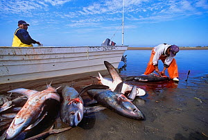 Gill net fishermen cleaning Thresher Sharks (Alopias vulpinus) Huatabampo, Mexico, Sea of Cortez, Pacific Ocean. Vulnerable species. Model released.  -  Jeff Rotman