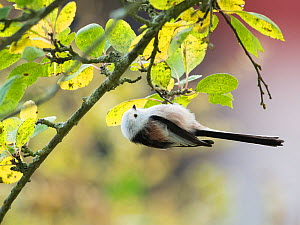 Long-tailed bushtit (Aegithalos caudatus) hanging upside down, north European form with white head, Uto, Korppoo, Parainen / Lansi-Turunmaa, Lounais-Suomi, Varsinais-Suomi / Southwestern Finland, Finl... - Jussi  Murtosaari