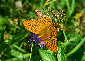 Silver-washed Fritillary butterfly (Argynnis paphia) male, Lemland, Ahvenanmaa / Aland Islands Archipelago, Finland. August - Jussi  Murtosaari