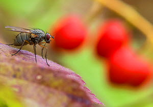 Fly (Brachycera) on Lily of the Valley berries, Parikkala, Etela-Karjala / South Karelia, Etela-Suomi / South Finland, Finland. September  -  Jussi  Murtosaari