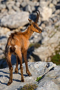 Apennine chamois (Rupicapra pyrenaica ornata) Central Apennines rewilding area, National Park of Abruzzo, Lazio and Molise, Italy, June.  -  Wild  Wonders of Europe / Widstrand