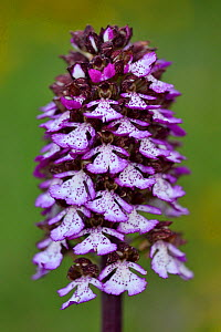 Lady orchid (Orchis purpurea) Central Apennines rewilding area, National Park of Abruzzo, Lazio and Molise, Italy, June.  -  Wild  Wonders of Europe / Widstrand