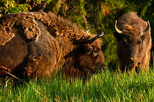 European bison / Wisent (Bison bonasus) released into the Tarcu mountains nature reserve, Natura 2000 area, Southern Carpathians, Romania. May 2014.  -  Wild  Wonders of Europe / Widstrand