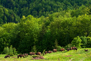 European bison / Wisent (Bison bonasus) herd released into the Tarcu mountains nature reserve, Natura 2000 area, Southern Carpathians, Romania. May 2014.  -  Wild  Wonders of Europe / Widstrand