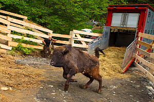 Release of European bison / Wisent (Bison bonasus) into the Tarcu mountains nature reserve, Natura 2000 area, Southern Carpathians, Romania. May 2014.  -  Wild  Wonders of Europe / Widstrand