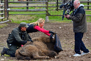 SVT TV host and film crew documenting the transportation of European bison / Wisent (Bison bonasus) from the Avesta Visentpark in Sweden to the Armenis area in the Southern Carpathians, Romania. May 2... - Wild  Wonders of Europe / Widstrand