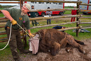 Joep van de Vlasakker with sedated European bison / Wisent (Bison bonasus) ready to load onto lorry for transportation from the Avesta Visentpark in Sweden to the Armenis area in the Southern Carpathi...  -  Wild  Wonders of Europe / Widstrand