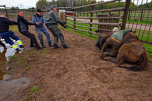 Men preparing to load sedated European bison / Wisent (Bison bonasus) onto lorry for transportation from the Avesta Visentpark in Sweden to the Armenis area in the Southern Carpathians, Romania. May 2... - Wild  Wonders of Europe / Widstrand