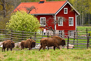 Captive European bison / Wisent (Bison bonasus), prior to being transported from the Avesta Visentpark in Sweden and released in the Armenis area in the Southern Carpathians, Romania. May 2014.  -  Wild  Wonders of Europe / Widstrand