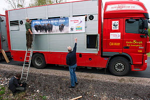 Men hanging sign on lorry used to transport European bison / Wisent (Bison bonasus) from the Avesta Visentpark in Sweden to the Armenis area in the Southern Carpathians, Romania. May 2014.  -  Wild  Wonders of Europe / Widstrand
