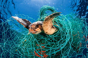 Loggerhead turtle (Caretta caretta) trapped in an abandoned drifting net, Balearic Channel, Mediterranean sea.  -  Jordi  Chias