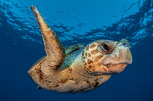 Loggerhead turtle (Caretta caretta) Los Gigantes, South Tenerife, Canary Islands, Atlantic - Jordi  Chias