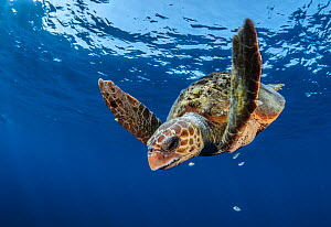 Loggerhead turtle (Caretta caretta) Los Gigantes, South Tenerife, Canary Islands, Atlantic Ocean. - Jordi  Chias