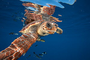 Loggerhead turtle (Caretta caretta) swimming near the surface, Balearic channel, Spain. - Jordi  Chias