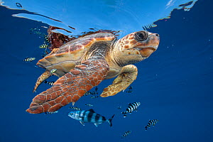 Loggerhead turtle (caretta caretta) swimming near the surface with Pilot fish. Balearic channel, Spain. - Jordi  Chias