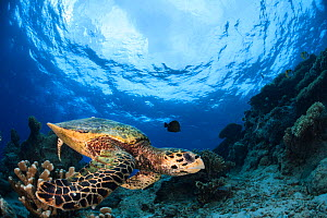 Hawksbill turtle (Eretmochelys imbricata) swimming over de reef, Mayotte Island, Comores, Indian Ocean. - Jordi  Chias