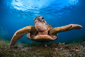 Green turtle (Chelonia mydas) feeding in Cymodocea, inside lagoon, Mayote Islands, Indian Ocean  -  Jordi  Chias