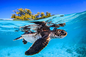 Juvenile Green turtle (Chelonia mydas) swimming near the surface, split level view, Fakarava atoll lagoon, Tuamotu Archipelago, French Polynesia, Pacific Ocean.  -  Jordi  Chias