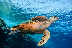Hawksbill turtle (Eretmochelys imbricata) swimming over reef, Red Sea, Egypt  -  Jordi  Chias