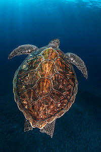 Juvenile Green Turtle (Chelonia mydas) Armenime cove, South Tenerife, Canary Island, Atlantic Ocean  -  Jordi  Chias