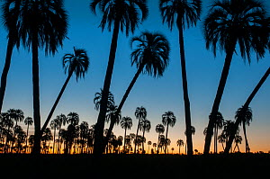 Yatay palm / jelly palm (Batia yatay) trees silhouetted at sunset, El Palmar National Park, Entre Rios Province, Argentina  -  Gabriel Rojo