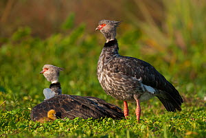 Southern screamer (Chauna torquata) adults with chick.  Ibera Marshes, Corrientes Province, Argentina  -  Gabriel Rojo