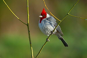 Red crested cardinal (Paroaria coronata)  Ibera Marshes, Corrientes Province, Argentina  -  Gabriel Rojo