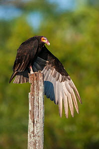 Lesser yellow-headed vulture (Cathartes burrovianus ) stretching wings, Ibera Marshes, Corrientes Province, Argentina. - Gabriel Rojo