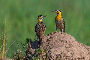 Campo flickers (Colaptes campestris) two on mound, Ibera Marshes, Corrientes Province, Argentina  -  Gabriel Rojo