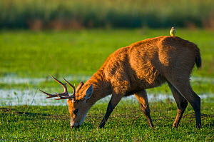 Marsh deer (Blastocerus dichotomus) male with Cattle tyrant  (Machetornis rixosus) on back, Ibera Marshes, Corrientes Province, Argentina.  -  Gabriel Rojo