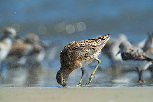 Short-billed Dowitcher (Limnodromus griseus) feeding, Little St Simon's Island, Barrier Islands, Georgia, USA, April. - Pete Oxford