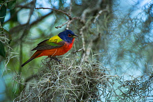 Painted bunting (Passerina ciris) Little St Simon's Island, Barrier Islands, Georgia, USA, April. - Pete Oxford