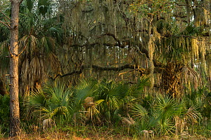 Coastal forest with Spanish moss (Tillandsia usneoides) growing on Southern live oak (Quercus virginiana) and Saw palmetto (Serenoa repens). Little St Simon's Island, Barrier Islands, Georgia, USA, Ma...  -  Pete Oxford