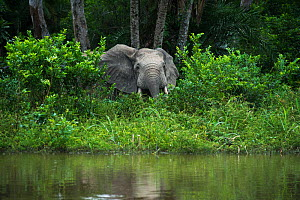 African forest elephant (Loxodonta cyclotis) at edge of water. Lekoli River, Republic of Congo (Congo-Brazzaville), Africa. Vulnerable species. - Pete Oxford