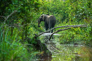 African forest elephant (Loxodonta cyclotis) in water, Lekoli River, Republic of Congo (Congo-Brazzaville), Africa. Vulnerable species. - Pete Oxford
