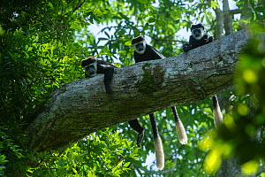 Guereza colobus monkeys (Colobus guereza) in tree, Lango Bai, Republic of Congo (Congo-Brazzaville), Africa. - Pete Oxford