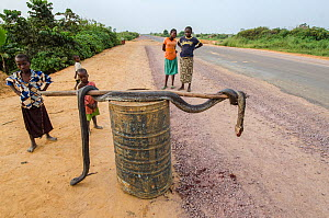 Local people with African rock python (Python sebae) at roadside, killed for bushmeat. Road from Brazzaville to Mbomo, Republic of Congo (Congo-Brazzaville), Africa, June 2013.  -  Pete Oxford