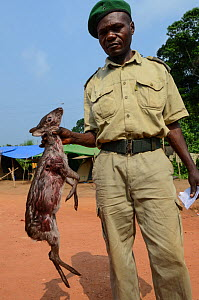 Guard with confiscated Western blue duiker (Philantomba monticola congicus) carcass, killed for bushmeat. Yengo Eco Guard control point, Odzala-Kokoua National Park. Republic of Congo (Congo-Brazzavil... - Pete Oxford