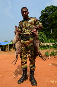 Guard with confiscated Western blue duiker (Philantomba monticola congicus) carcasses, killed for bushmeat. Yengo Eco Guard control point, Odzala-Kokoua National Park. Republic of Congo (Congo-Brazzav... - Pete Oxford