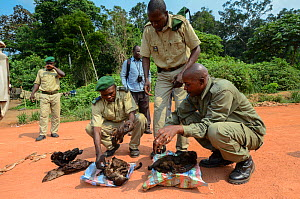 Guards with confiscated bushmeat including carcasses of duiker and monkey. Yengo Eco Guard control point, Odzala-Kokoua National Park. Republic of Congo (Congo-Brazzaville), Africa, June 2013. - Pete Oxford