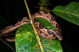 Common blunthead tree snake (Imantodes cenchoa) Mindo Cloud Forest, Western slopes, Andes, Ecuador. - Pete Oxford