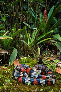False coral / Milk snake (Lampropeltis triangulum micropholis) Andes, Ecuador. Captive, occurs in South America.  -  Pete Oxford