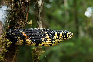Tropical chicken snake (Spilotes pullatus) Amazon, Ecuador. Captive, occurs in Central and South America. - Pete Oxford