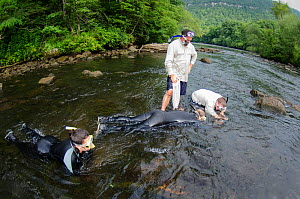 Researchers looking for Eastern hellbenders (Cryptobranchus alleganiensis) Hiwassee River, Cherokee National Forest, Tennessee, USA, July 2014.  -  Pete Oxford