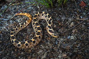 Southern hognose snake (Heterodon simus) Captive, endemic to the Southeastern United States. Vulnerable species.  -  Pete Oxford