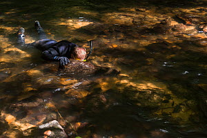 Researcher Stephen Spear snorkeling in river, looking for Eastern hellbenders (Cryptobranchus alleganiensis). Cooper's Creek, Chattahoochee National Forest, Georgia, USA, July 2014.  -  Pete Oxford