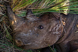 Black rhinoceros (Diceros bicornis) captured for relocation to Addo Elephant Park in Eastern Cape, Great Karoo, South Africa. Critically endangered species.  -  Pete Oxford