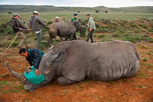 White rhinoceros (Ceratotherium simum) and calf being released into private reserve. Part of a population management scheme. Great Karoo, South Africa. - Pete Oxford
