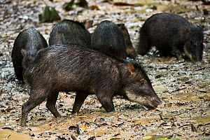 White-lipped peccary (Tayassu pecari) at saltlick. Yasuni National Park, Amazon Rainforest, Ecuador, South America. - Pete Oxford